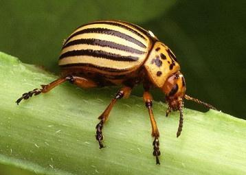 Le doryphore (Leptinotarsa decemlineata) est un coléoptère facilement reconnaissable à sa robe striée jaune et noire, originaire du Sud de l'Amérique du Nord